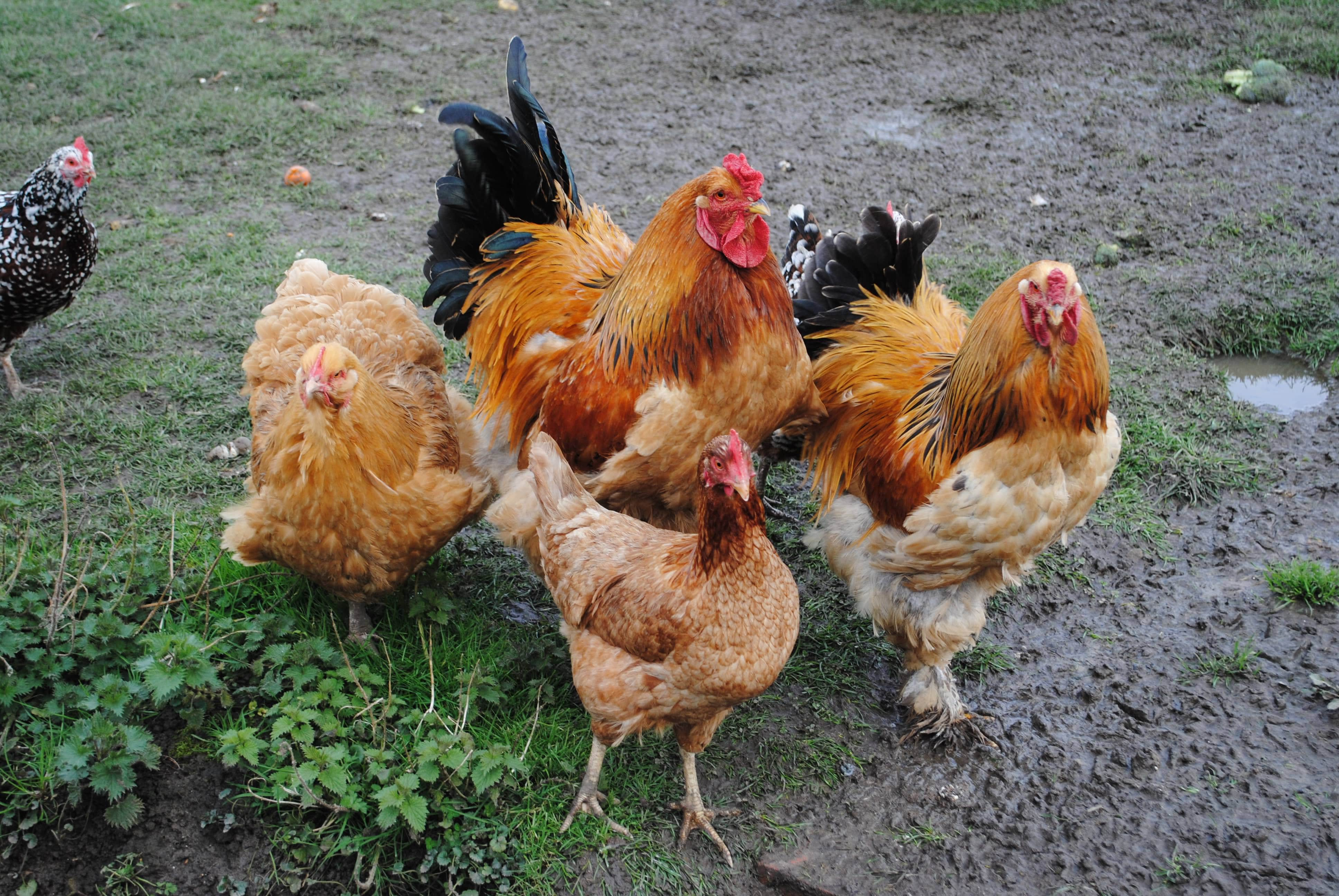 group of chickens-min