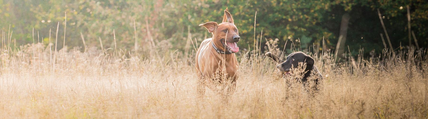 Dog-Walking-Header