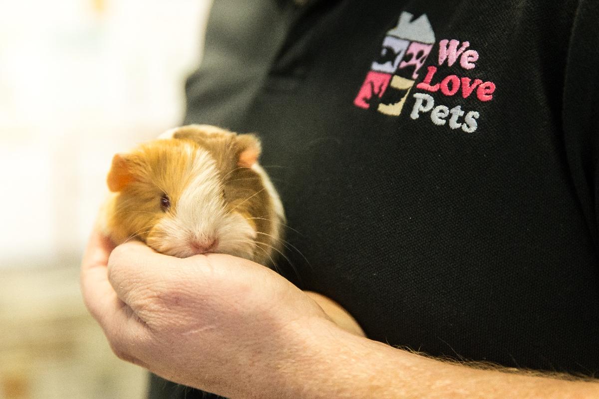 guinea pig held